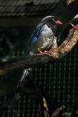 Red-billed blue magpie (Urocissa erythrorhyncha). — Stock Photo