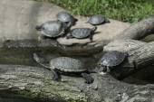 European pond turtles — Stock Photo