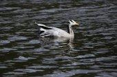 Bar-headed goose — Stock Photo