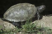 European pond turtle — Stock Photo