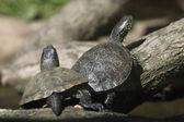 European pond turtles (Emys orbicularis). — Stock Photo