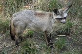 Bat-eared fox (Otocyon megalotis). — Stock Photo