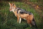 Black-backed jackal (Canis mesomelas). — Stock Photo