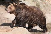 Brown bear (Ursus arctos). — Stock Photo
