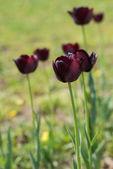 Black tulips — Stock Photo