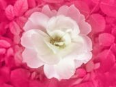 White Rose Top View — Стоковое фото