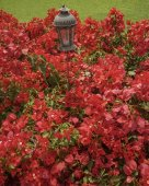 Red Flowers and Antique Lamp — Stock Photo
