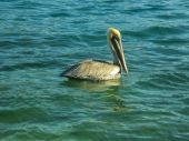 Lonely Pelican in the Water — Stock Photo