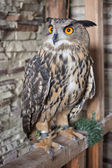 Beautiful captive owl — Stock Photo