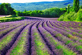 Violet fields of blloming lavander in Provence — Stock fotografie