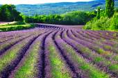 Violet fields of blloming lavander in Provence — 图库照片