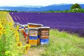 Sunflower, lavander and beehive - Provence, France — Foto Stock