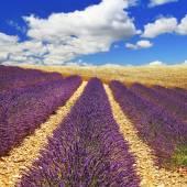 Beautiful feelds of blooming lavanda -  Provence, France — Stock Photo