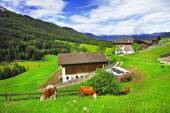 Alpine scenery  - green grass pastures and cows (Dolomites) — Stock Photo