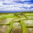 Pictorial rice fields in Bali island — Stock Photo #59553619