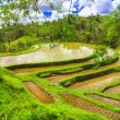 Pictorial rice fields in Bali island — Stock Photo #59553639
