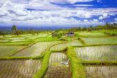 Pictorial rice fields in Bali island — Stock Photo