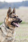 Head of beautiful German Shepherd — Stock Photo