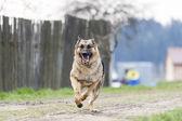 Running dog - german shepherd — Stock Photo