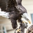 Flying or landing big eagle — 图库照片 #62639163