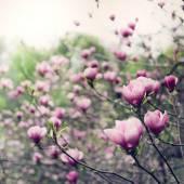 Magnolia tree blossom — Stock Photo