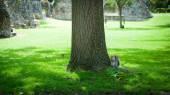 Ekorre i abbey garden, bury st edmunds, Storbritannien — Stockfoto