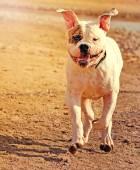 Amerikaanse bulldog — Stockfoto
