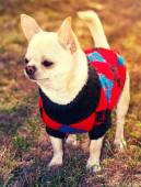 Chihuahua in sweater — ストック写真