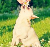 Chihuahua and camomile — Stock Photo