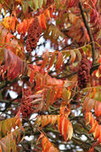 Sumac tree — Stock Photo