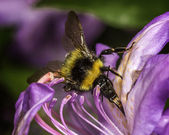 Bumblebee feeding — Stock Photo