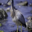 White-faced heron — Stock Photo #62174873