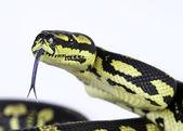 Jungle carpet python — Stock Photo