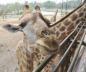 Giraffe at Zoo — Stock Photo