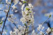 Cheery blossom flowers on spring day — Stockfoto