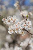 Cheery blossom flowers on spring day — Stok fotoğraf