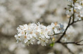 Cheery blossom flowers on spring day — Stock Photo