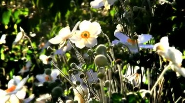 White flowers at autumn sunset. — Stock Video