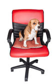 Adorable beagle sit still on red cha — Stock Photo