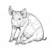 Drawing of pig — Stock Vector