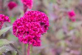 Plumed pink cockscomb flower — Stock Photo