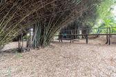 Clump of Bambusa bamboo with bammboo bridge — Stock Photo