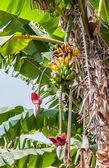 Trs banánů na stromě. — Stock fotografie