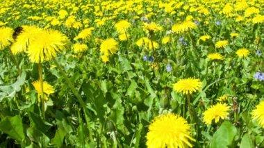 Paardebloem veld en hommel — Stockvideo