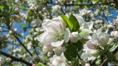 Blooming apple tree — Stock Video