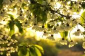 Backlit cherrie flowers — Stock Photo