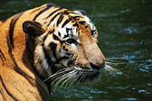 Tiger in the river — Stockfoto