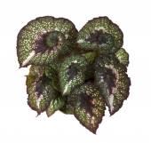 Begonia Rex Escargot — Stock Photo