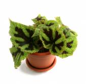 Begonia masoniana — Stock Photo