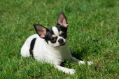 Chihuahua lies on the grass — Stock Photo